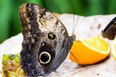 Бабочки сыча Стоковая Фотография
