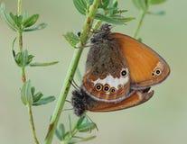 Бабочки. Стоковые Изображения RF