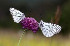 бабочки 2 Стоковое Изображение