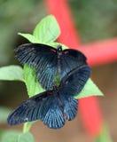 бабочки 2 Стоковые Изображения RF