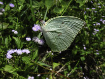 Бабочки Стоковое Изображение