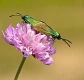 бабочки adscita соединяют влюбленность делая statices Стоковые Изображения RF