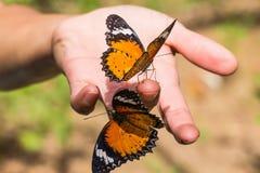 Бабочка lacewing леопарда Стоковые Изображения RF