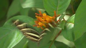 2 бабочки Longwing зебры посещают такой же цветок, 4K видеоматериал