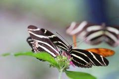 Бабочки Longwing зебры Стоковые Фотографии RF