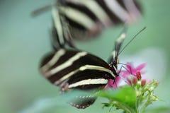 Бабочки Longwing зебры Стоковое Изображение RF