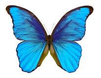 бабочки morpho изолированные на белой предпосылке Стоковая Фотография
