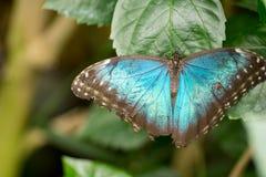Бабочки Morpho Стоковые Фото