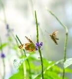 Бабочки Pansy Брайна в саде Стоковое Изображение