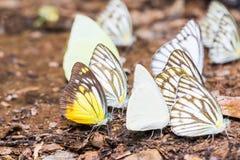 Бабочки Pierid в природе Стоковая Фотография RF