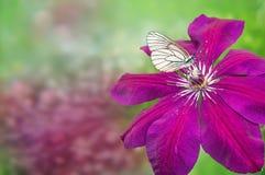 бабочки pierids при штриховатости черно-белого, сидя на красном clematis цветка на зеленой предпосылке bokeh с Стоковые Изображения RF