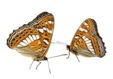2 бабочки ribboned topolovy латинское populi Limenitis - бабочка дня от семьи nymphalids Стоковое Изображение