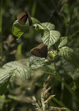 Бабочки Ringlet, Tentsmuir Стоковая Фотография RF