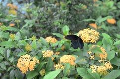 Бабочки Swallowtail в красном Ixora chinensis Стоковые Изображения RF