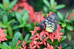 Бабочки Swallowtail на Стоковые Фотографии RF