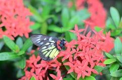 Бабочки Swallowtail на Стоковая Фотография