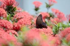Бабочки Swallowtail на Ixora chinensis Стоковое Изображение RF