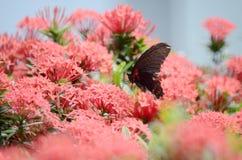 Бабочки Swallowtail на Ixora chinensis Стоковое фото RF