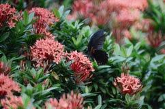 Бабочки Swallowtail на Ixora chinensis Стоковая Фотография RF