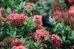 Бабочки Swallowtail на Ixora chinensis Стоковые Фотографии RF