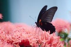 Бабочки Swallowtail на Ixora chinensis Стоковое Изображение