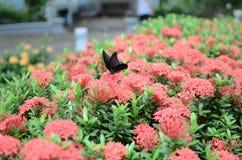Бабочки Swallowtail на Ixora chinensis Стоковые Фото