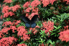 Бабочки Swallowtail на Ixora chinensis Стоковые Изображения RF