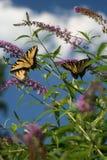 Бабочки Swallowtail тигра собираются к этому кусту ` bloomin Стоковые Фотографии RF