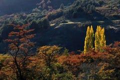 бабье лето Красивые покрашенные деревья, лес, вдоль Carretera Austral, Чили Стоковое фото RF