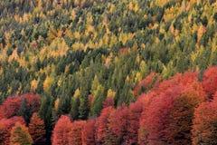 бабье лето Красивые покрашенные деревья, лес, вдоль Carretera Austral, Чили Стоковое Фото