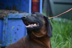 Баварская собака Bayerischer Gebirgsschweisshund гончей горы i стоковые фотографии rf