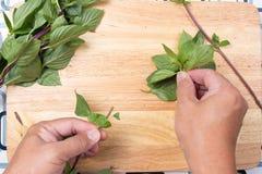 Базилик клока шеф-повара тайский с рукой Стоковая Фотография