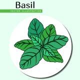 Базилик выходит зеленый цвет Стоковое Фото