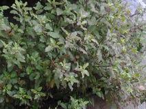 Базилик естественный стоковое изображение rf