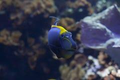 бака тяни рифа жизни рыб коралла аквариума желтый цвет морского тропический Стоковые Фотографии RF