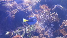 бака тяни рифа жизни рыб коралла аквариума желтый цвет морского тропический Стоковые Изображения