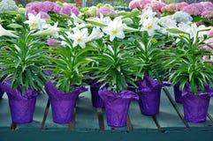 Баки белых лилий пасхи Стоковая Фотография RF