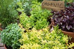 баки трав базилика свежие здоровые Стоковая Фотография