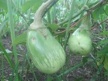 Баклажан растя в ферме стоковые фотографии rf