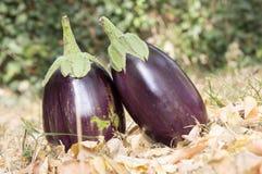 Баклажан, aubergine, яичко сада melongene, плодоовощи сквоша гинеи в траве и осень высушили листья Стоковое Фото