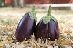 Баклажан, aubergine, яичко сада melongene, плодоовощи сквоша гинеи в траве и осень высушили листья Стоковое Изображение