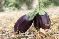 Баклажан, aubergine, яичко сада melongene, плодоовощи сквоша гинеи в траве и осень высушили листья Стоковые Изображения
