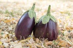 Баклажан, aubergine, яичко сада melongene, плодоовощи сквоша гинеи в траве и осень высушили листья Стоковое фото RF