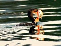 Бакланы для того чтобы уловить момент рыб Стоковые Фото