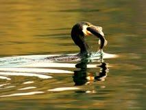 Бакланы для того чтобы уловить момент рыб Стоковое Фото