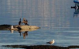 Бакланы и чайки в Испании, Европе стоковая фотография rf
