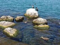 Баклан и утка в озере стоковые фото