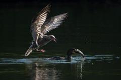 Баклан против чайка стоковая фотография rf
