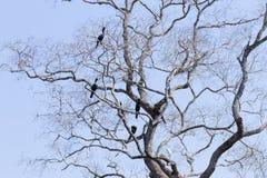 Баклан Neotropic на природе в Pantanal, Бразилии стоковые изображения rf