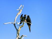 2 баклана в дереве в Рио Lagartos Стоковая Фотография RF